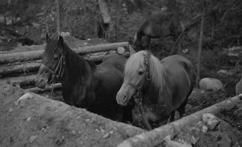 Укрытие для лошадей. 1940 г.