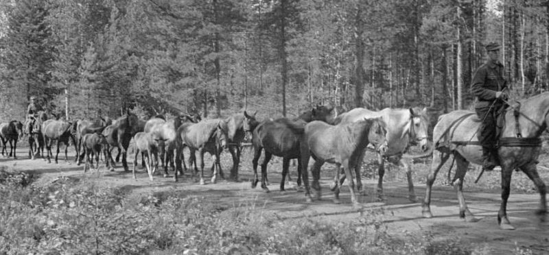 Перегон лошадей. 1944 г.