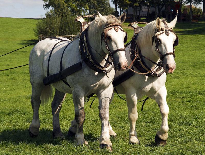 Першероны - тяжеловозная порода лошадей в упряже.