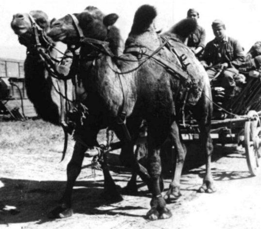 Трофейные верблюды в германской армии. Сентябрь 1942 г.