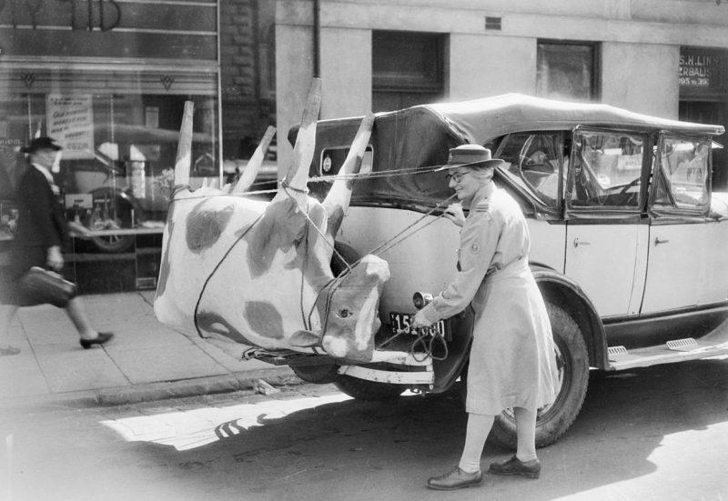 Макет коров, используемый для обучения женщин из AWLA. Мельбурн 1944 г.