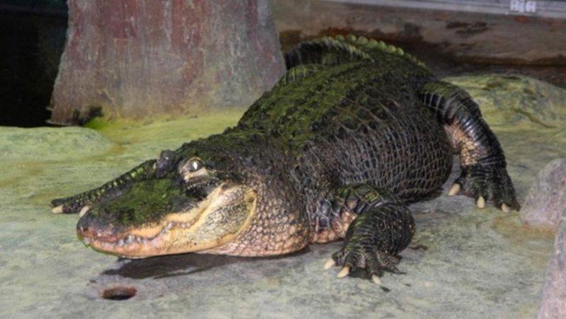 Аллигатор прожил 84 года, что на 30 лет больше обычного.