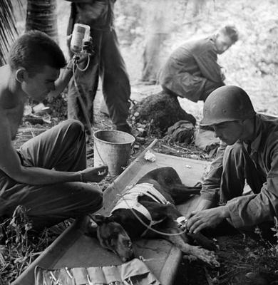Первая помощь раненной собаке на полуострове Ороте. Гуам, 1944 г.