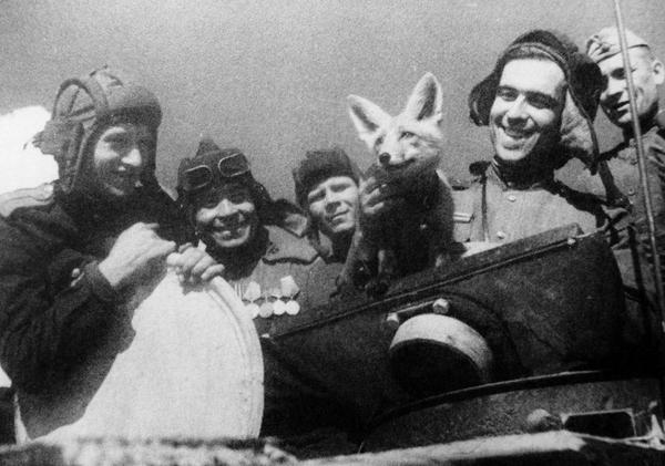 Танкисты позируют с лисицей Трофейка на танке Т-34. Ленинградский фронт, 1943 г.