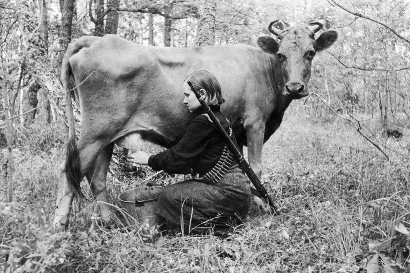 Разведчица Радомышльского партизанского отряда Дарья Войтенко доит корову в лесном лагере у села Крымок Житомирской области. Август 1943г.