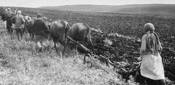Пахота на коровах. 1943 г.