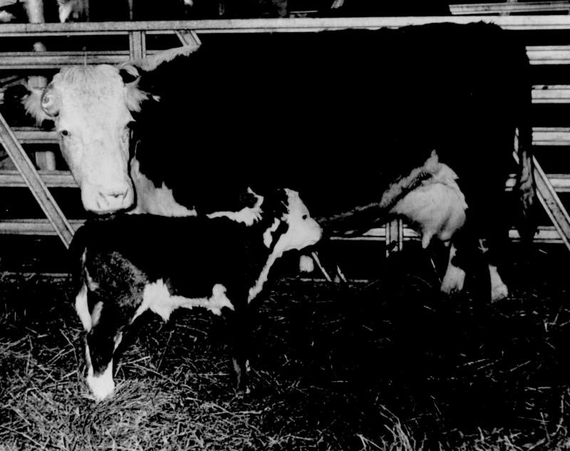 Рогатый скот, подвергшийся воздействию радиоактивной пыли во время взрыва атомной бомбы. Сентябрь 1945 г.
